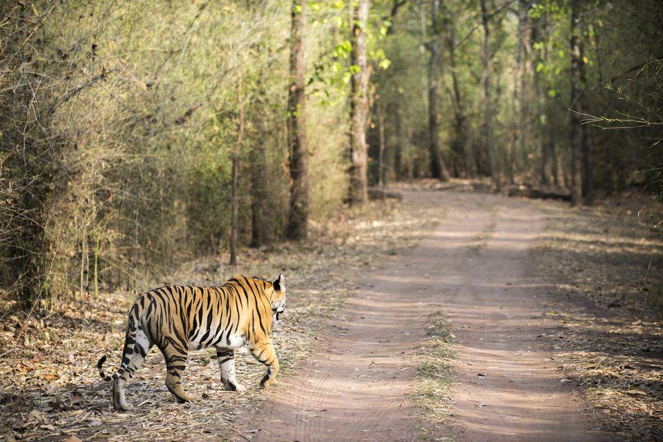 Tiger in Bandhavgarh National Park.