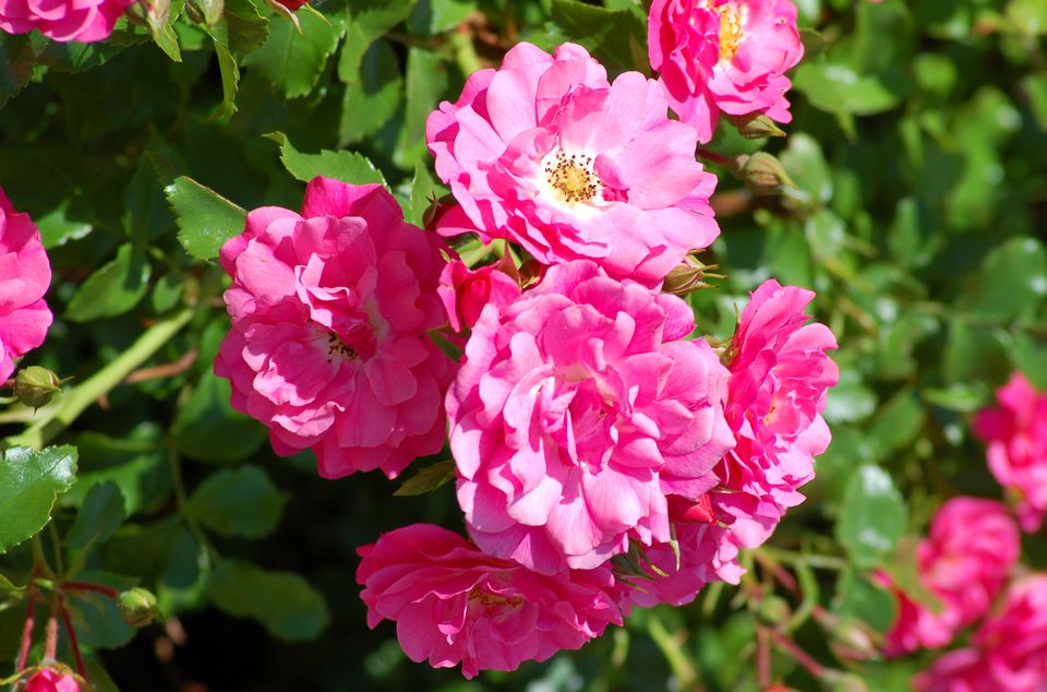Pink roses (image) provide nice color. These shrubs are a traditional favorite.
