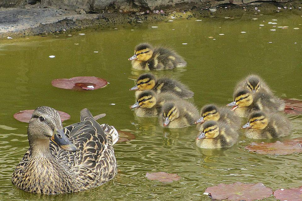 Duck Family in a Backyard Pond