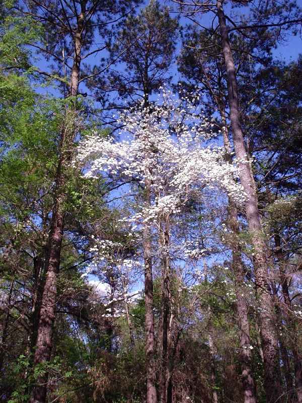 A Wild Flowering Dogwood in Spring