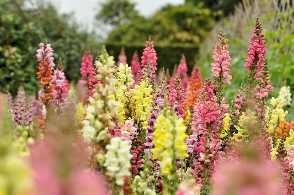How to grow and care for snapdragon plants for Easy to care for outdoor flowering plants