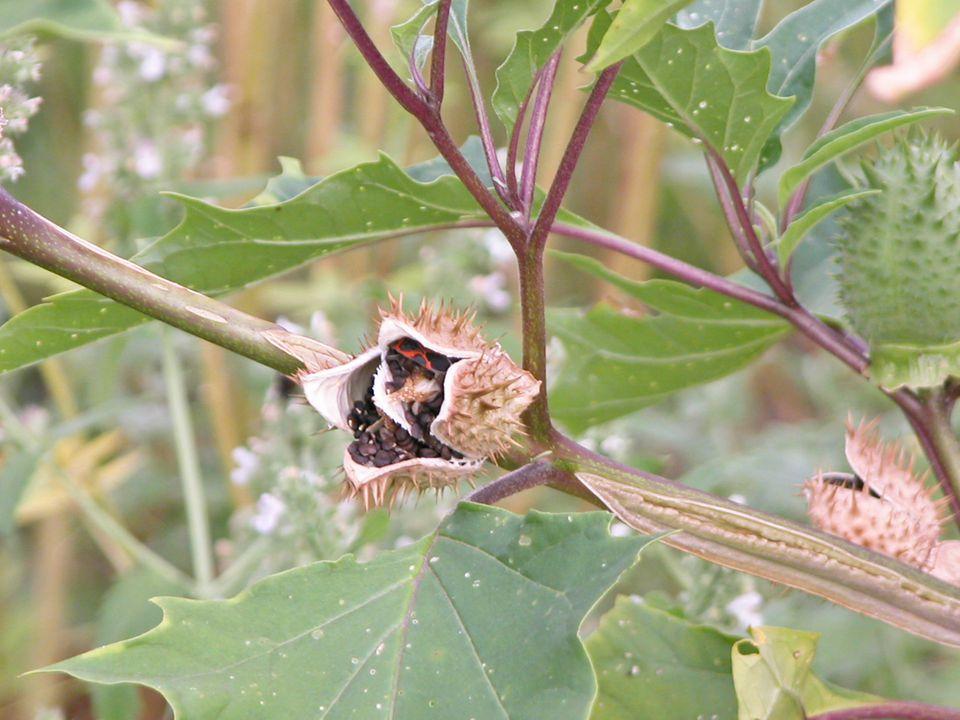 Seed Pod Splitting Open