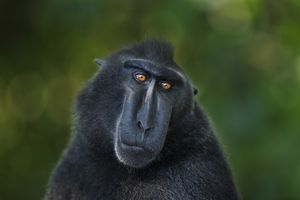 Closeup of brown macaque with green background