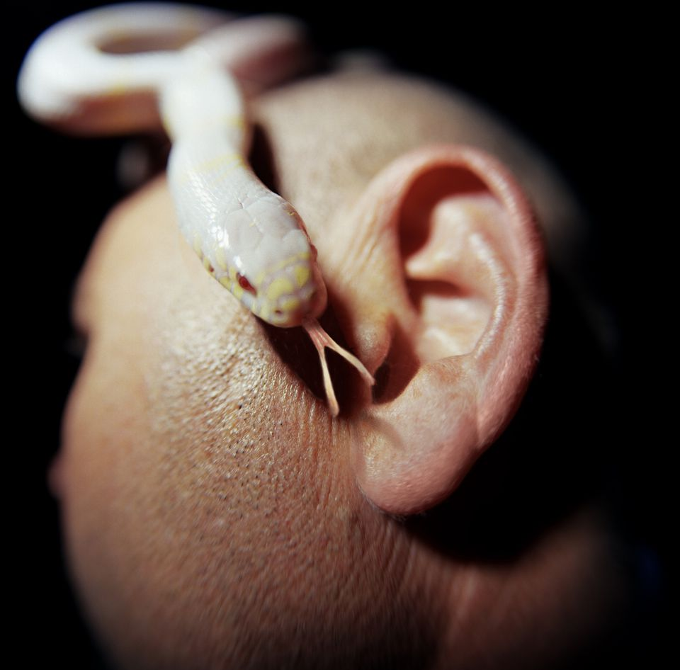 Albino king snake next to man's ear