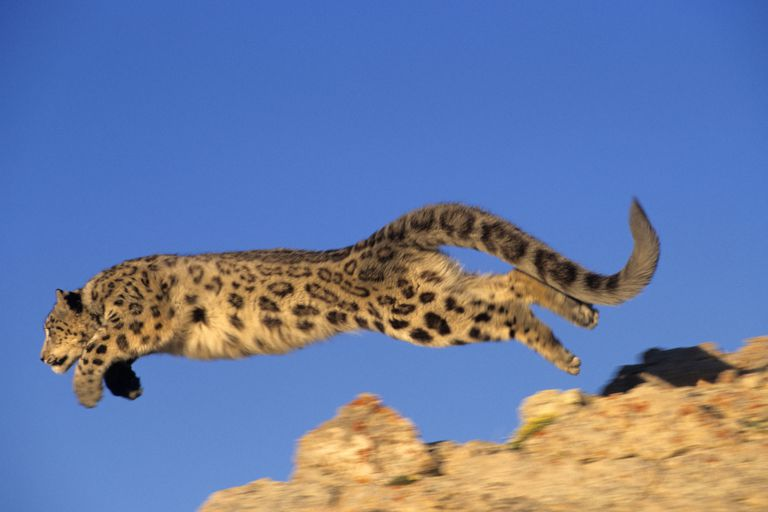 Snow Leopard - Panthera uncia