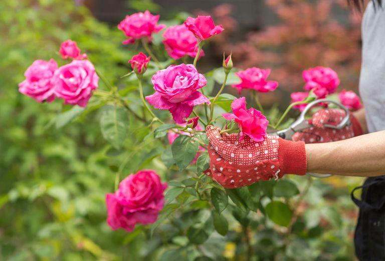 Cómo plantar rosas y no morir en el intento