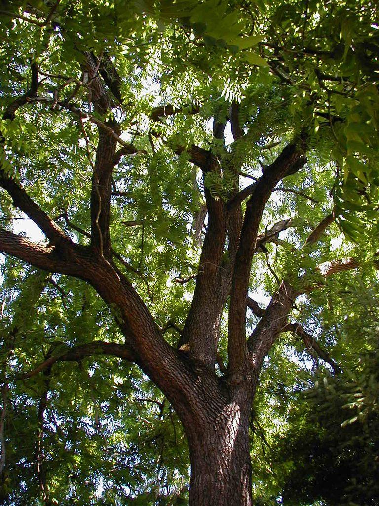 how to grow a walnut tree uk