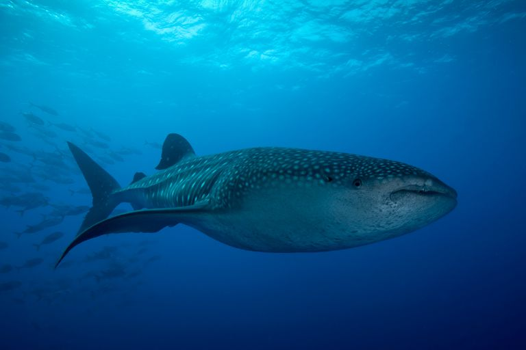 This whale shark is one of about 970 living species of cartilaginous fishes.