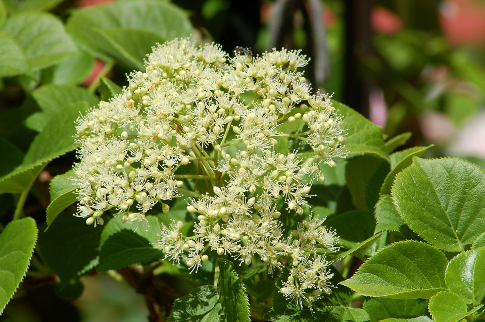 Climbing hydrangea (image) is a perennial flowering vine. It grows in shade in the North.