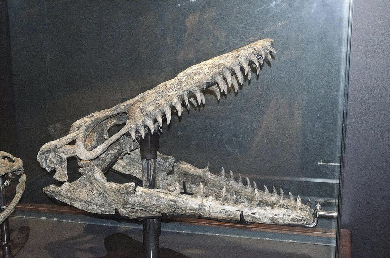 Mosasaurus skull - CMRNWR Phillips County Montana - Museum of the Rockies - 2013-07-08