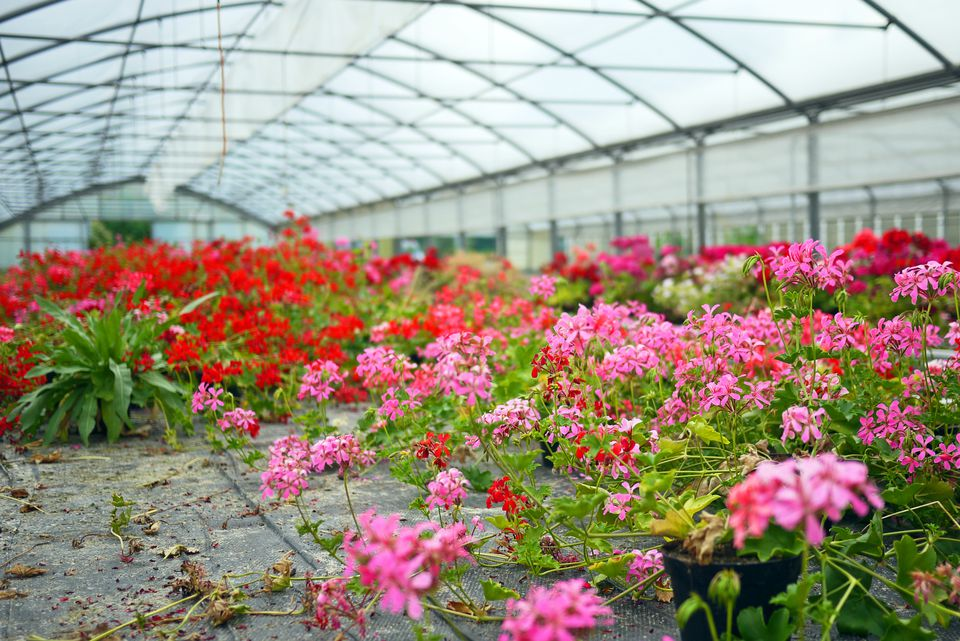Ivy-leaved geranium flowers cultivated in a greenhouse