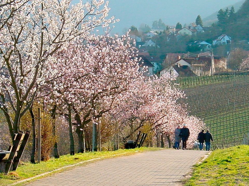 Almond Blossoms at the German Wine Road