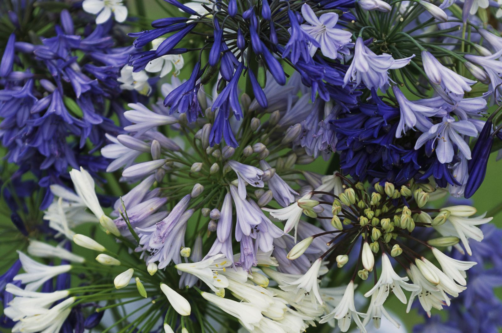 12 beautiful blue flowering plants for the garden dhlflorist Choice Image