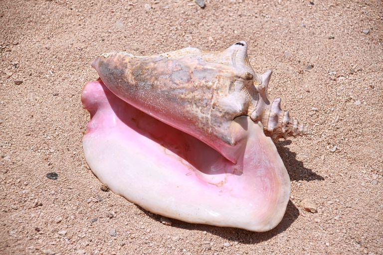 A conch shell in the sand