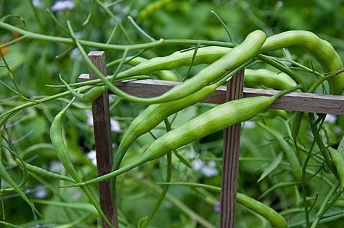 How To Grow Rat S Tail Edible Podded Radish