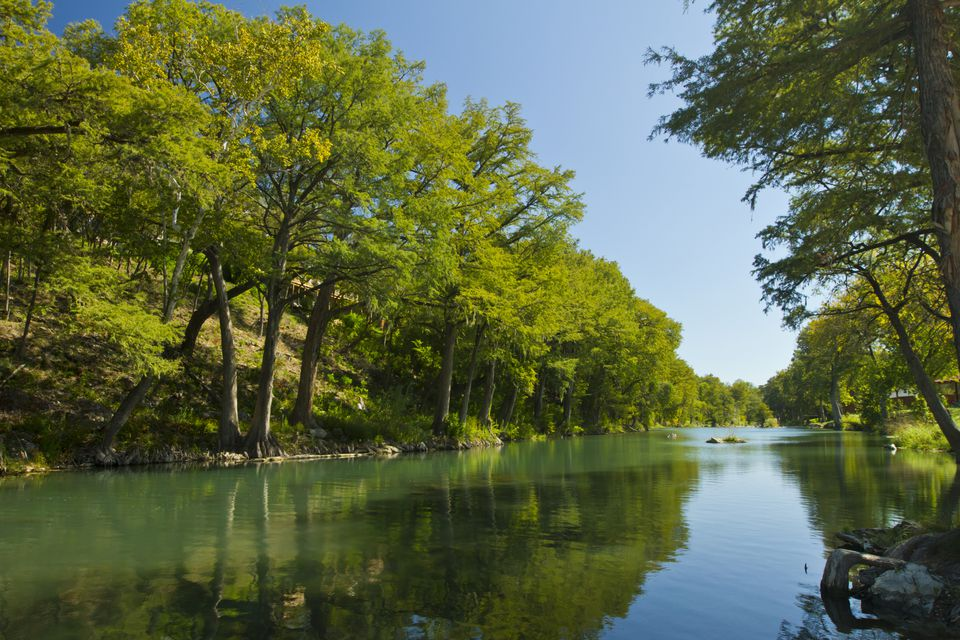 Bald cypress trees at Gruene, near New Braunfels, Guadalupe River, Texas, USA