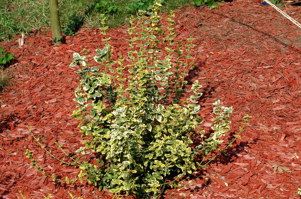 Emerald 'n' Gold shrub surrounded by mulch.