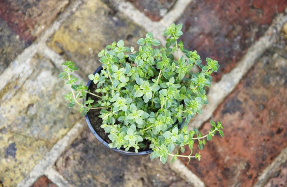 Lemon thyme (Thymus x citriodorus), overhead view