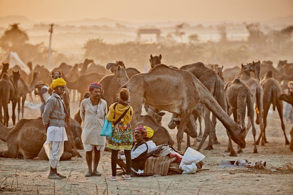 Camels at the Pushkar Fair