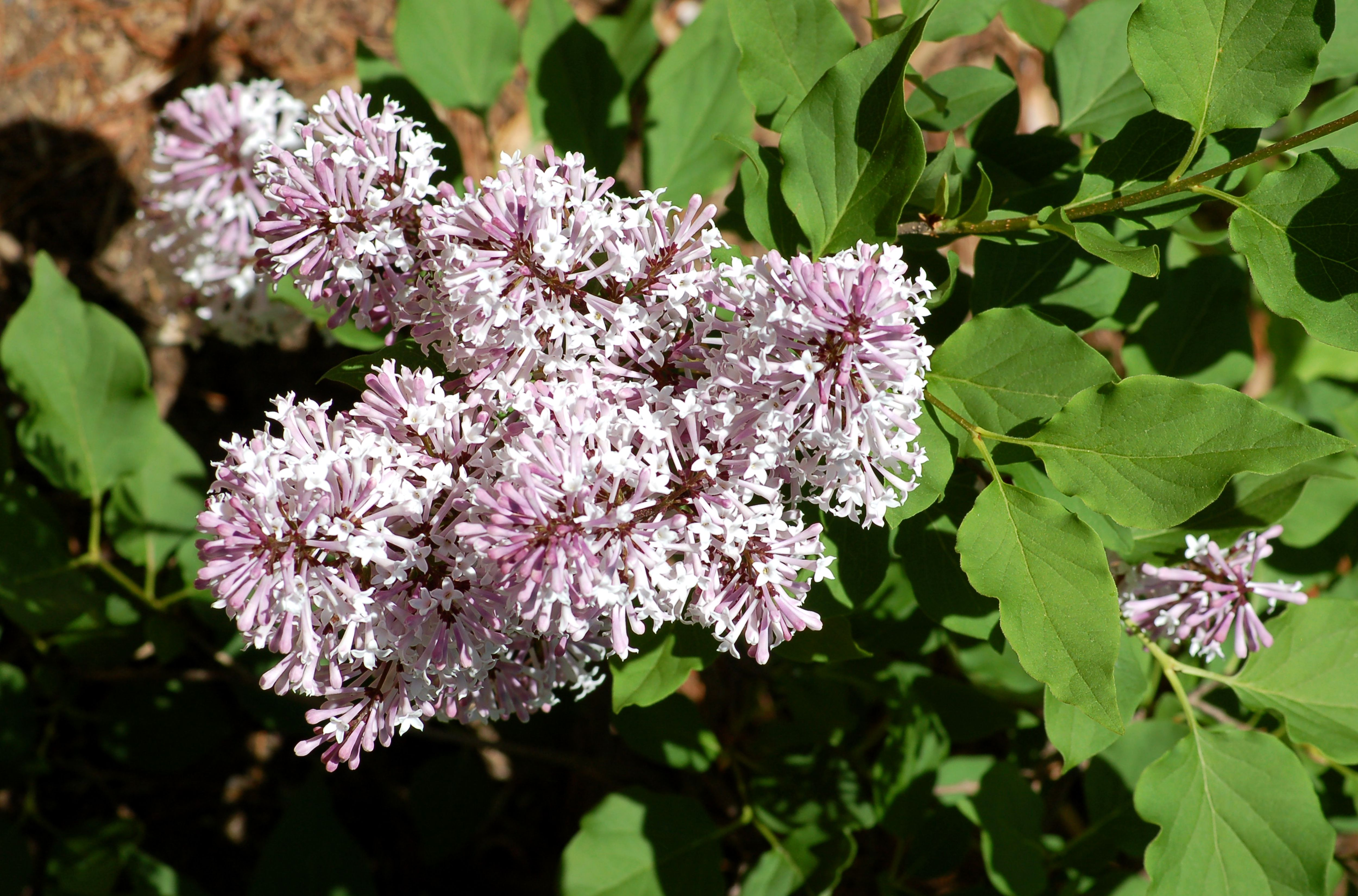 Lilac bushes growing tips for a fragrant shrub miss kim lilac the nose knows but whose nose tree growing tips publicscrutiny Image collections