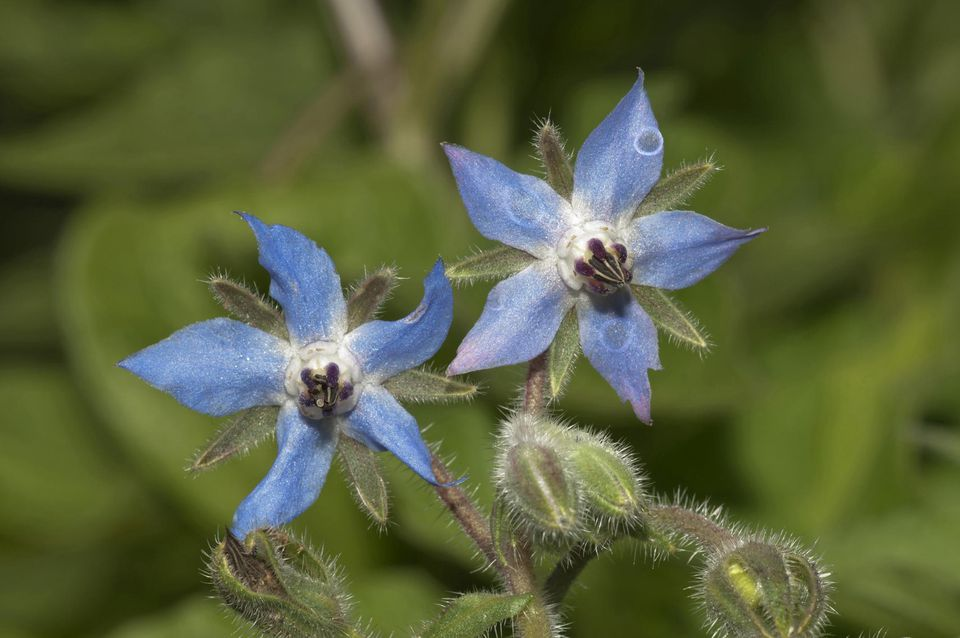 Borage or Starflower -Borago officinalis-, Baden-Wuerttemberg, Germany