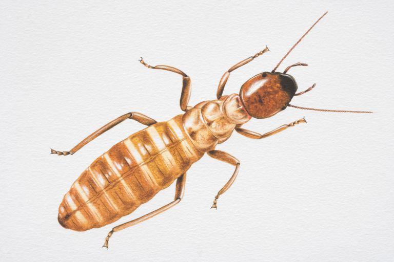 Termite.