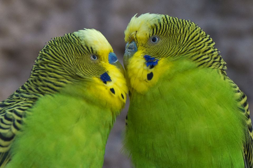 Parakeets Are Also Known As Budgerigars