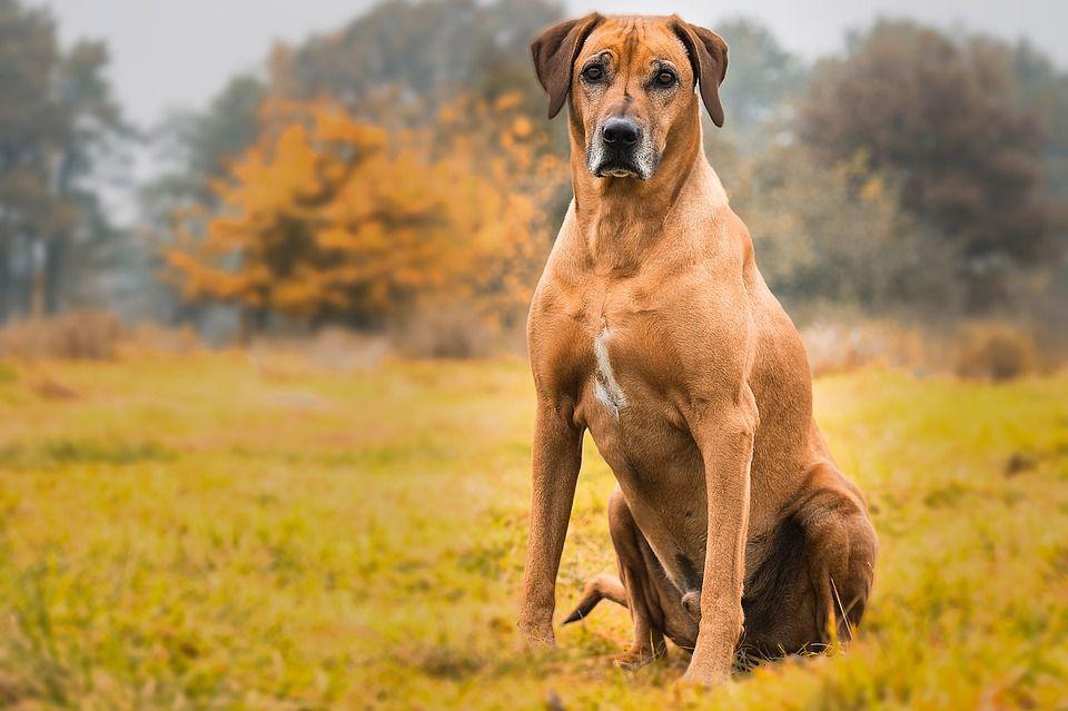 rhodesian ridgeback dog breed profile. Black Bedroom Furniture Sets. Home Design Ideas
