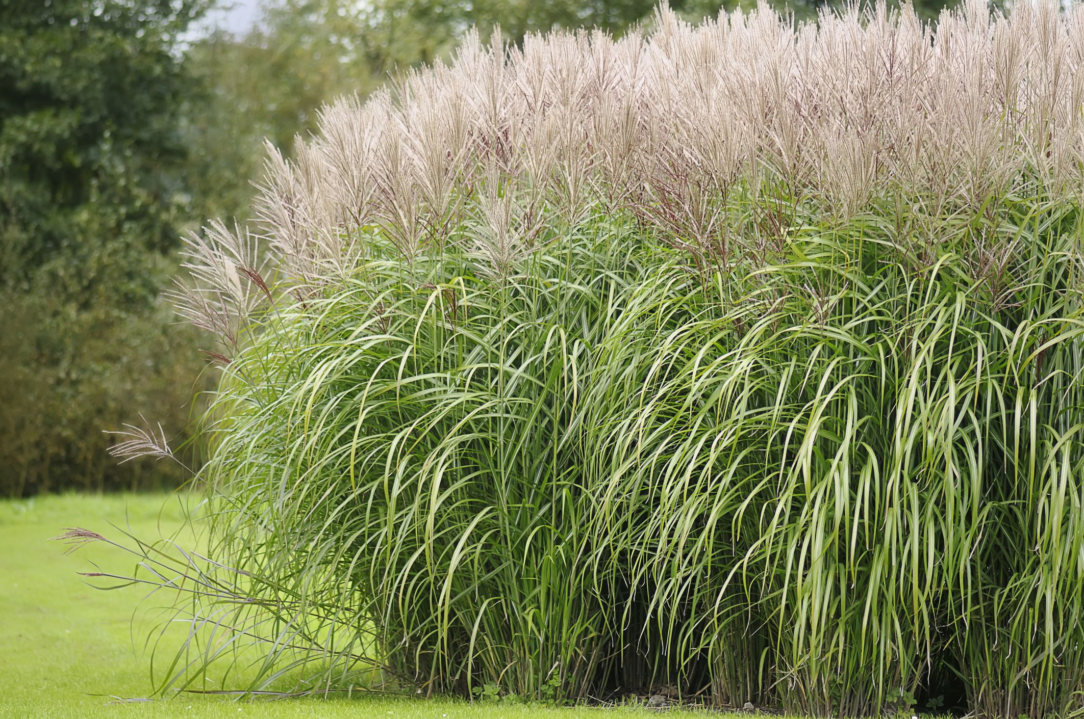 12 ornamental grasses that will stop traffic for Long grass landscaping