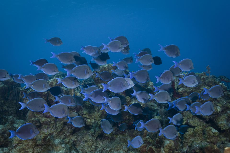 Pacific blue tang