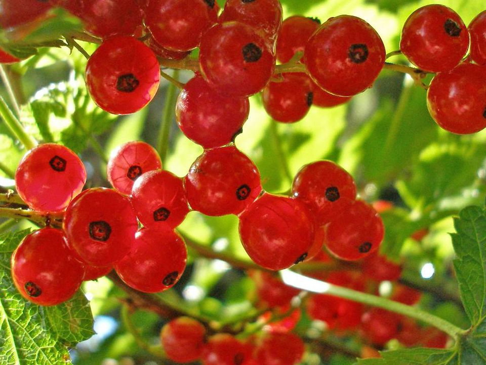 How to Grow Currants and Goosberries