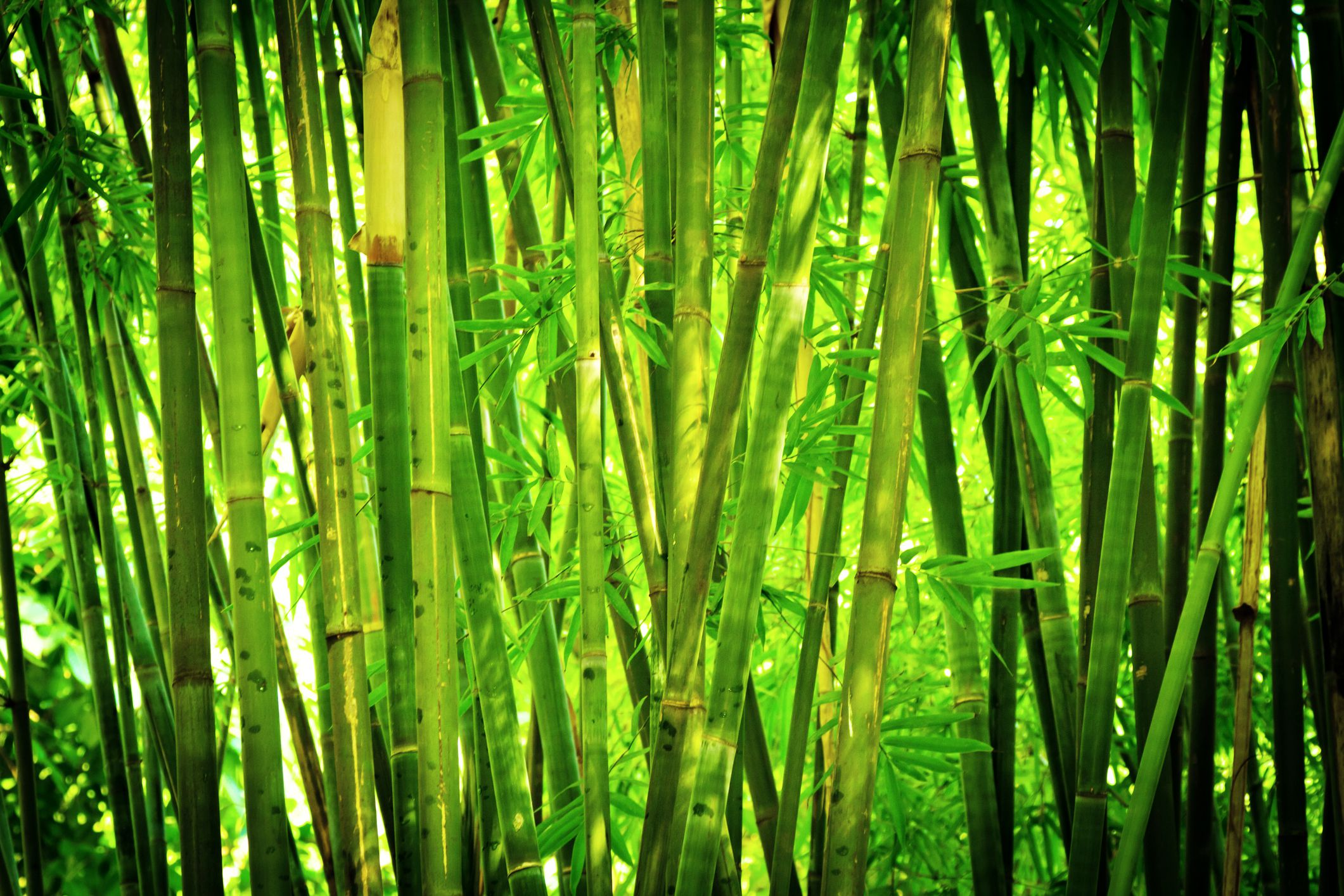 bamboo privacy hedges are they good noise barriers