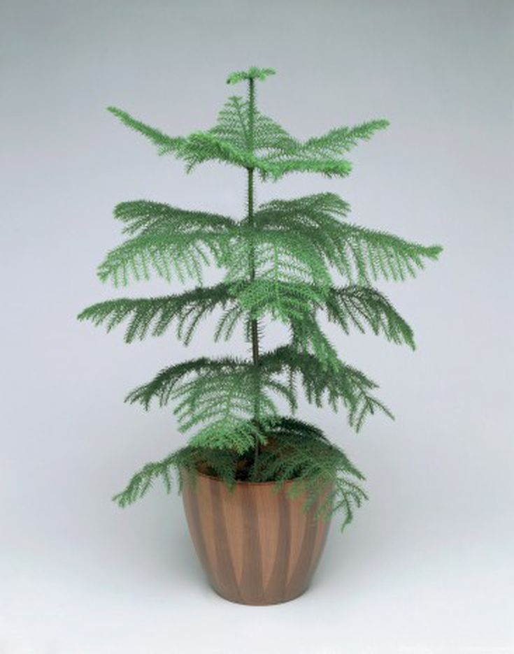 what to do now with your norfolk island pine christmas tree - Christmas Tree Plant