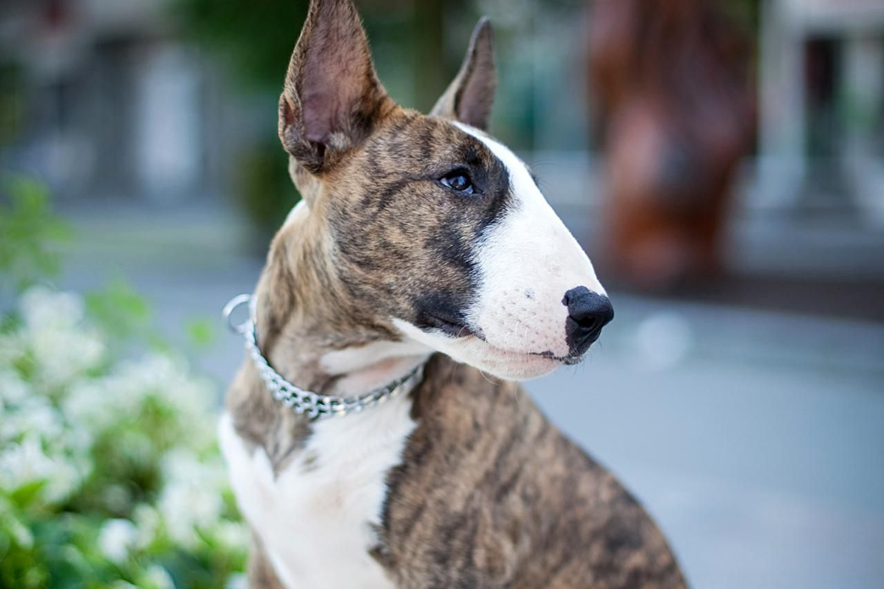 Bull Terrier Dog Breed Information