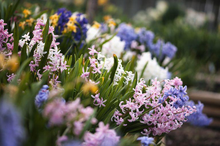 Hyacinths_1500