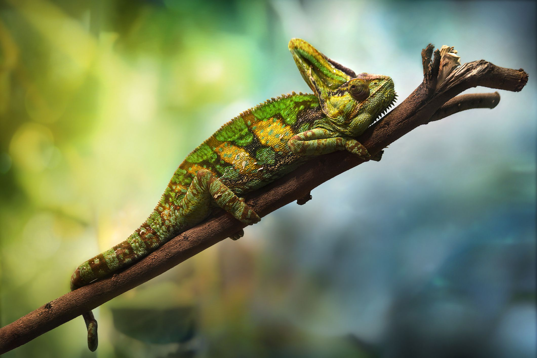 Uncategorized Picture Of Chameleon a guide to caring for pet veiled chameleons