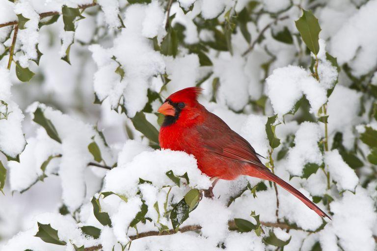 winter snow holly tree