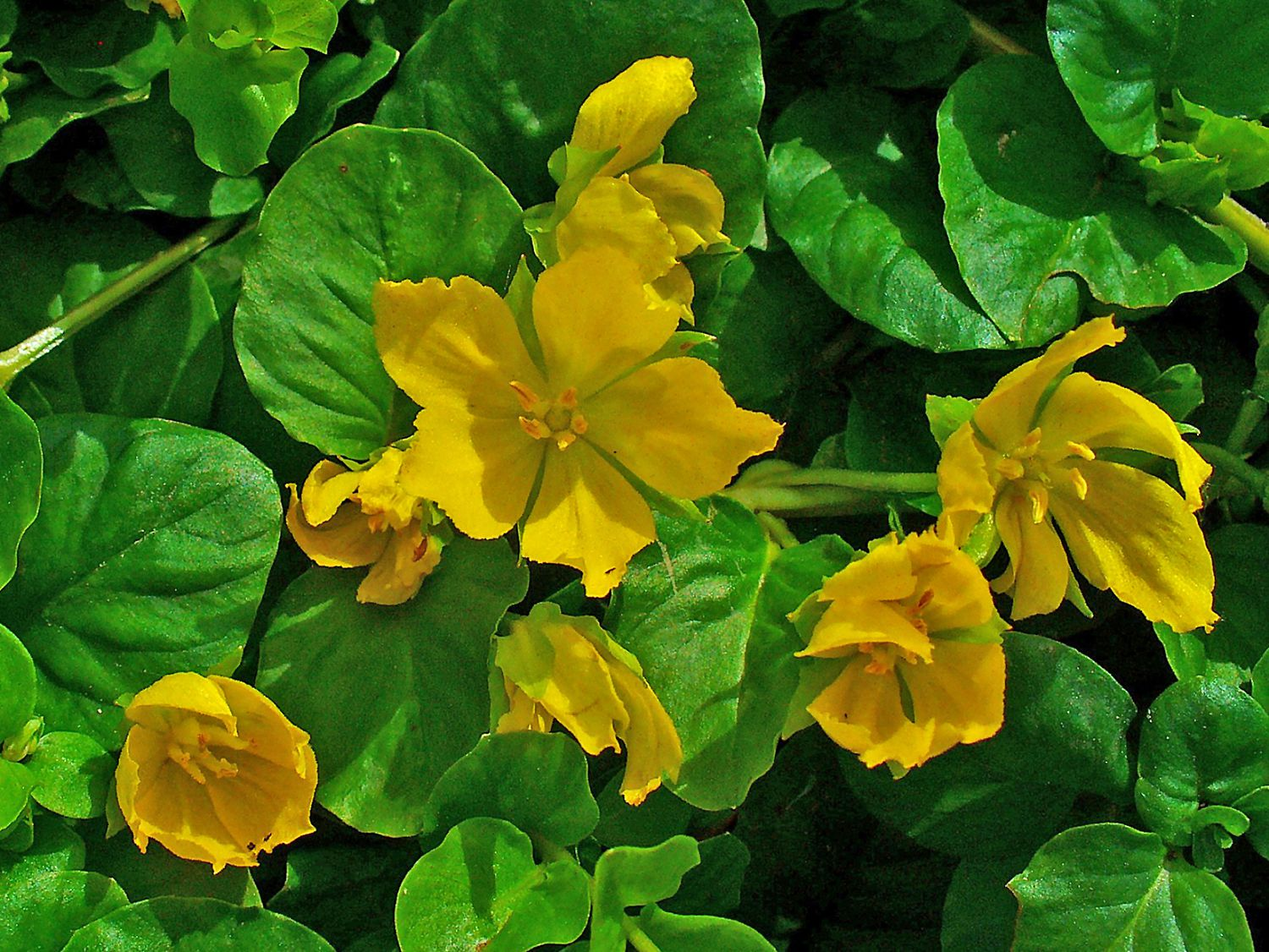 How To Grow Creeping Jenny In A Container