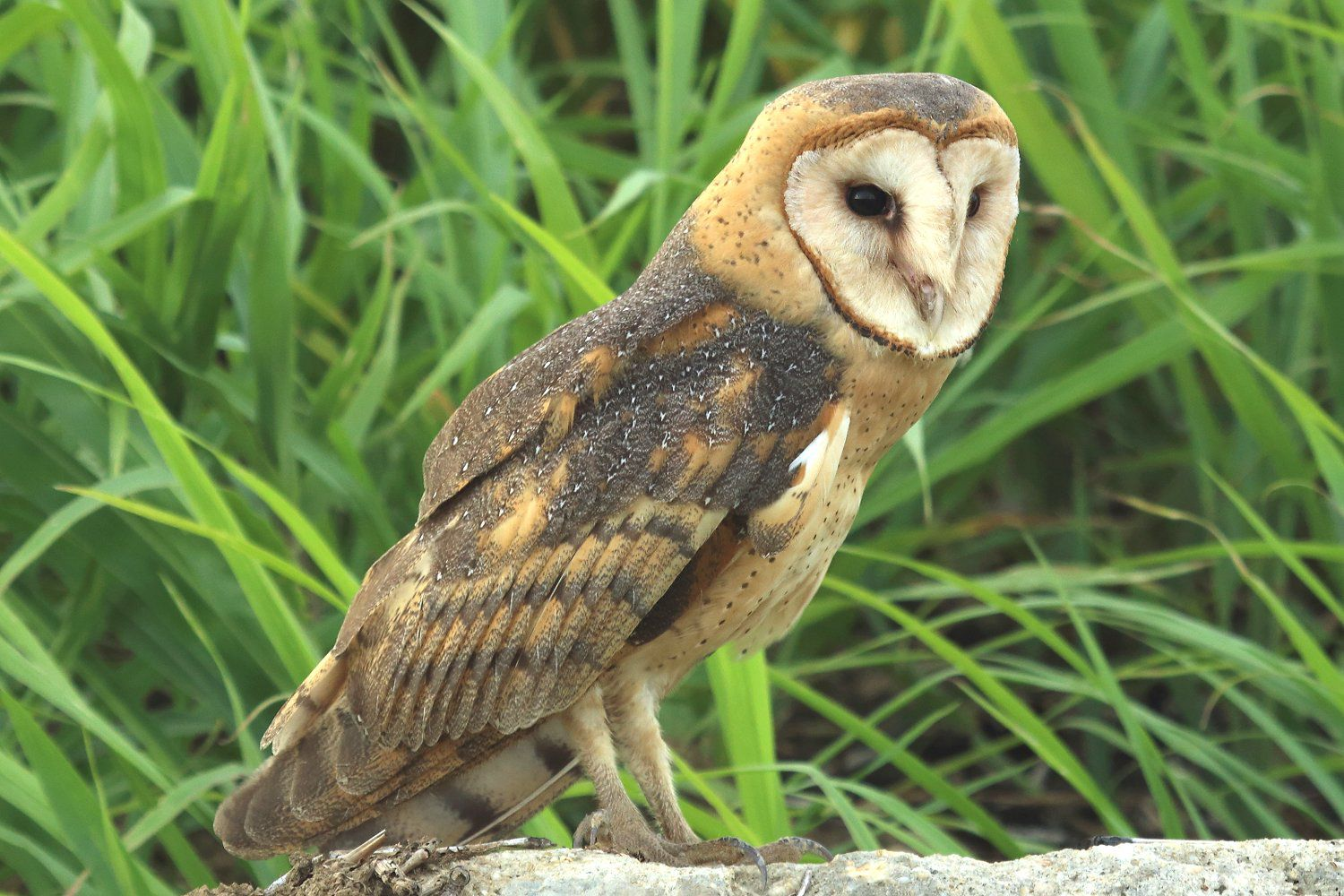 20 fun facts about owls bird trivia barn owl fact sheet buycottarizona