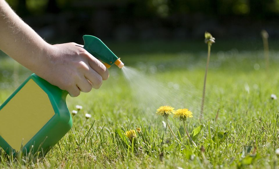 Spraying the dandelions