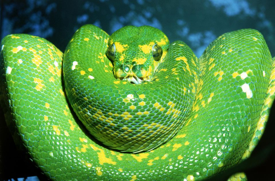 Snake Species Commonly Kept as Pets