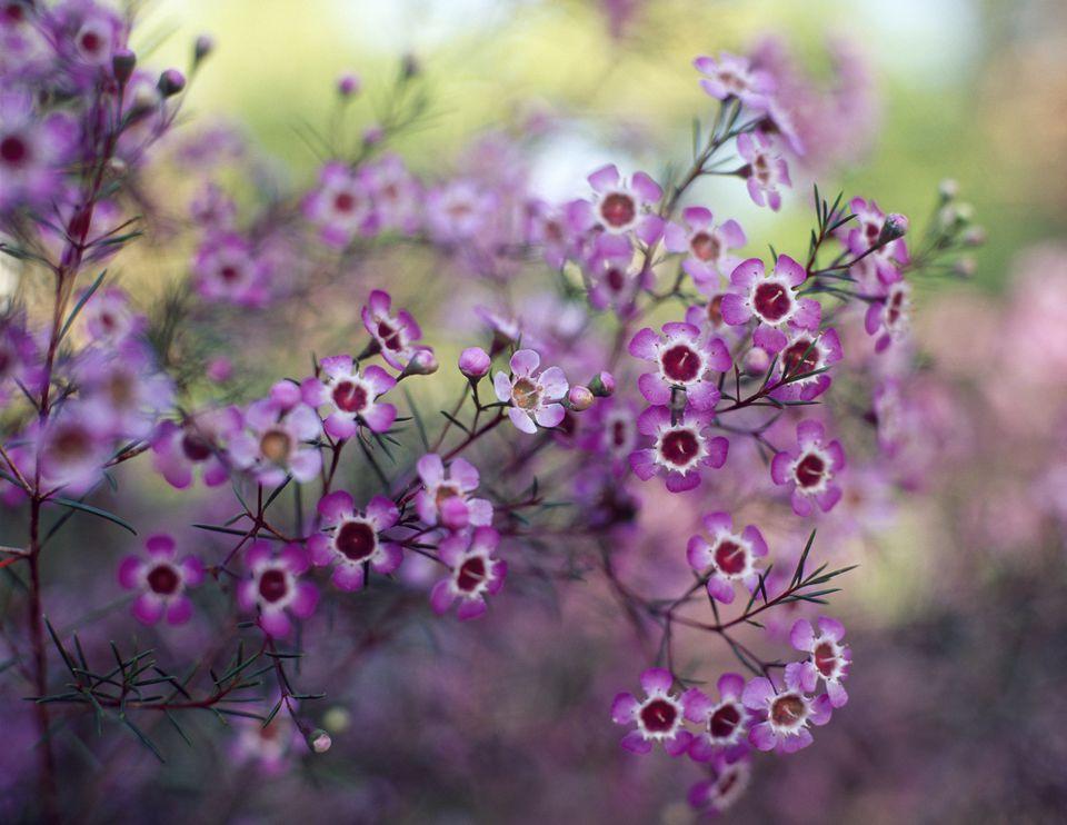 Pink Wax Flowers