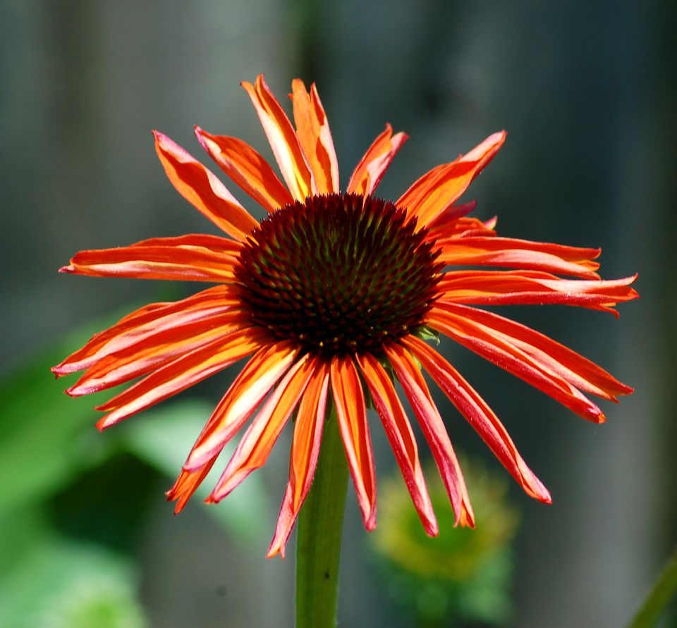 Firebird coneflower (image) is orange-flowered. This perennial likes sun.