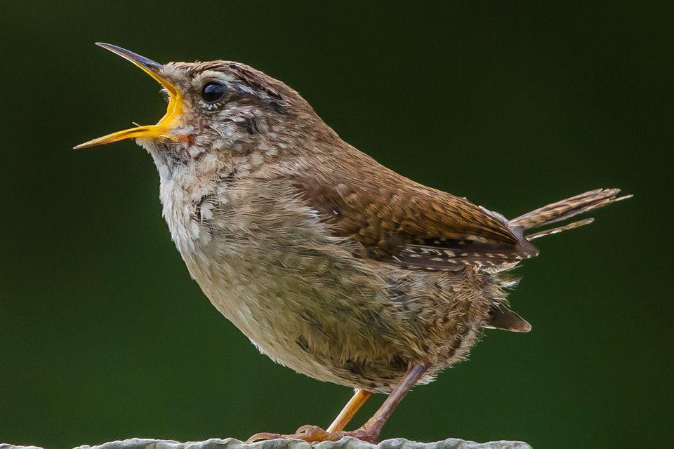 Singing Wren