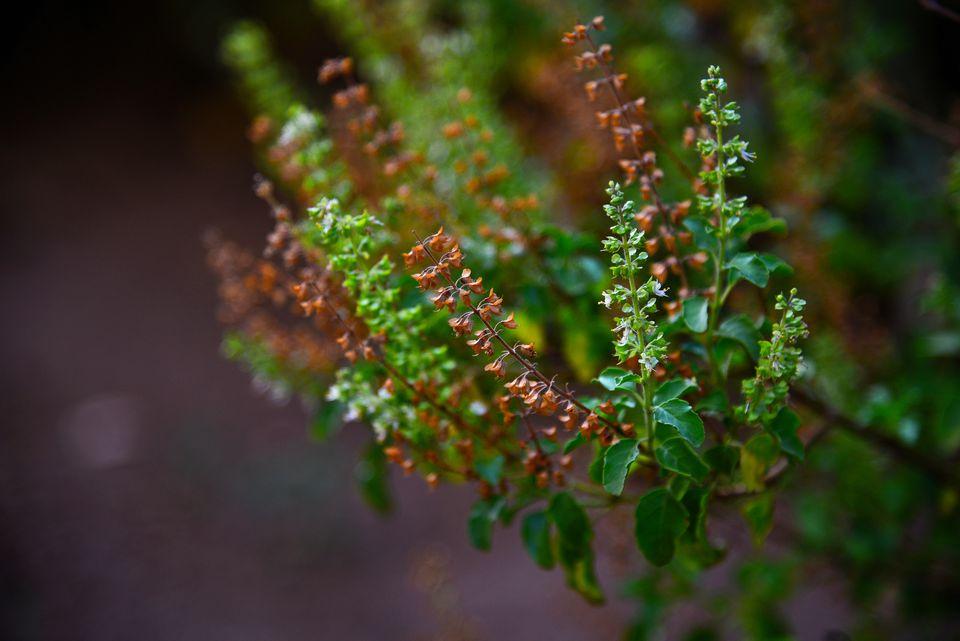 Tulsi plant- holy basil