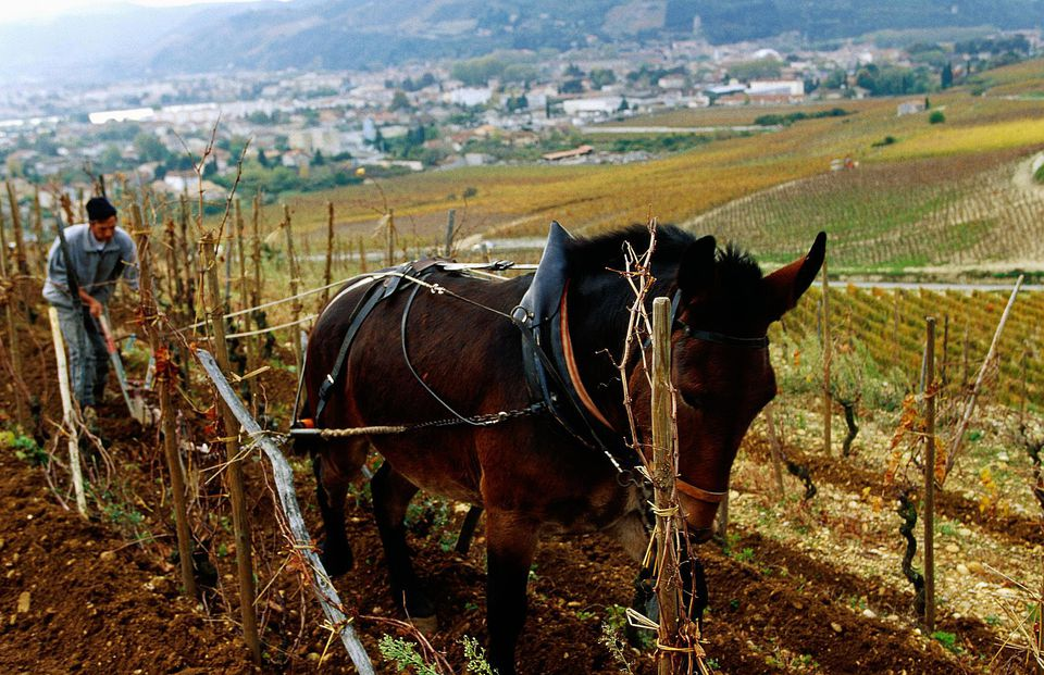 Horse pulling plough at Chapoutier biodynamic vineyard.