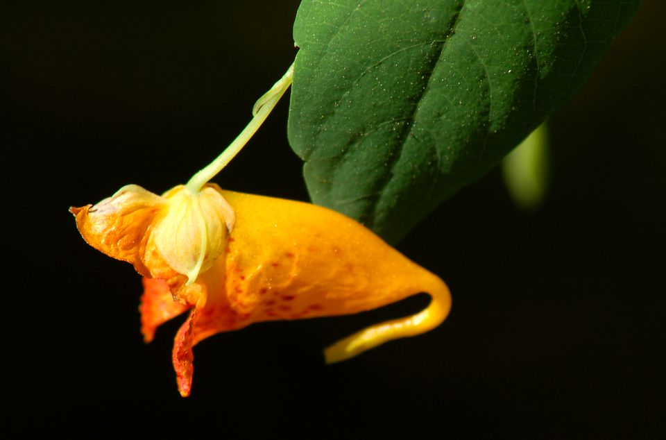 A type of impatiens hardy in the North, jewelweed (image) is a poison ivy salve. Crush the leaves.