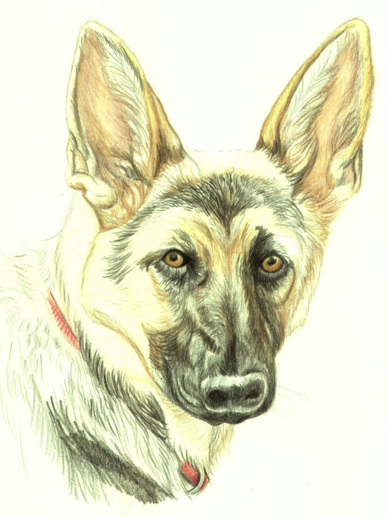 Drawing Lesson A German Shepherd in Colored Pencil