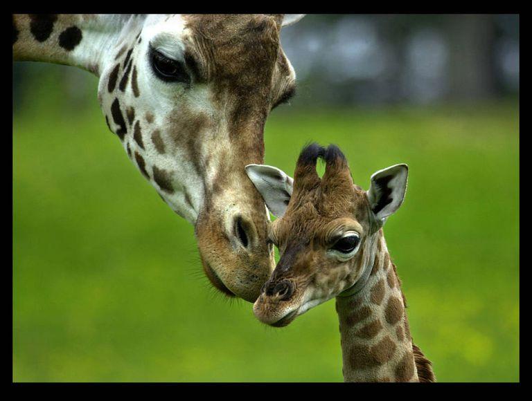 GiraffeBaby1.jpg