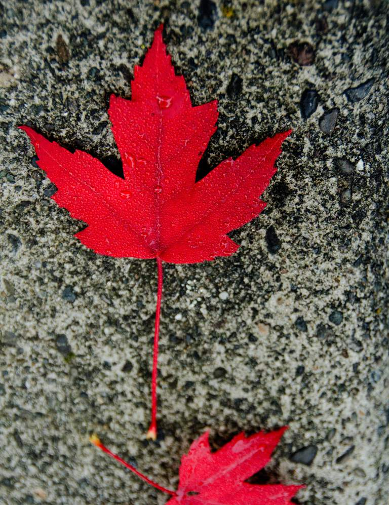red sugar maple leaf covered by raindrops lying on a rough concrete slab
